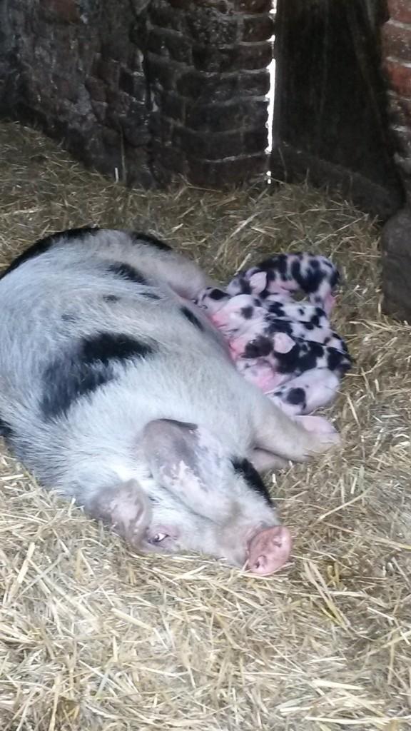 Schwein Junge 1 Tag alt